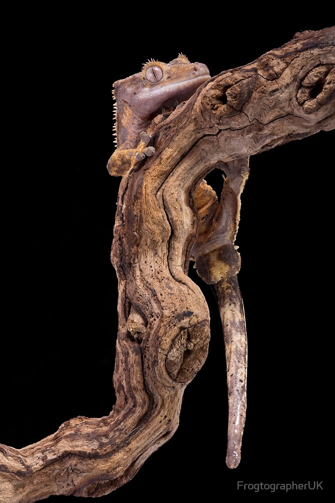 Crested gecko on branch by FrogtographerUK