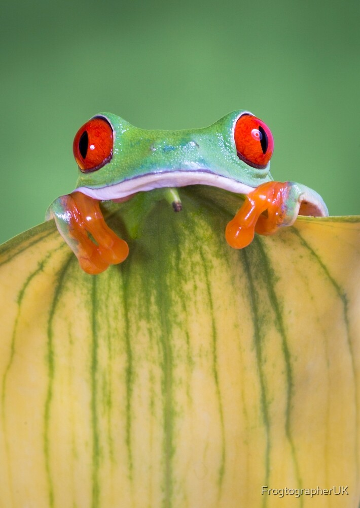 Cute Red eyed tree frog  resting on yellow flower by FrogtographerUK