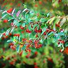 Autumn Berries by Anuja Manchanayake