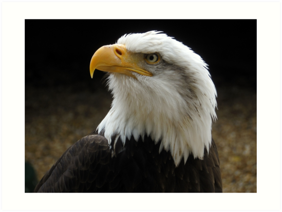 The Bold Bald Eagle. by Heath-Photos