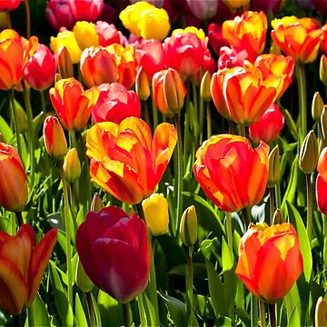 Masses of colourful tulips by Violaman
