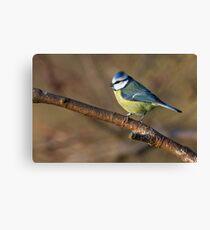 Wildlife blue tit bird  Canvas Print