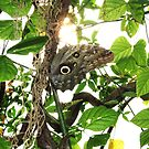 Owl Butterfly. by Marie Brown ©