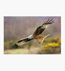 Red Kite Photographic Print