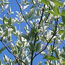 Whitebeam by naturalimages