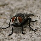 Flesh fly, Sarcophaga; La Mirada, CA USA All Rights Reserved May 2009 Hedger Photography by leih2008