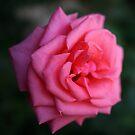 rosa rose von Michael Hofmann