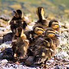 Baby Mallard Ducks by Carla Jensen