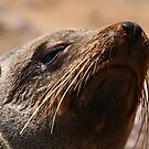 Fur Seal, Cape Cross, Namibia by MacLeod