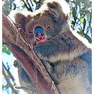 Koala in the Wild by Alexey Dubrovin