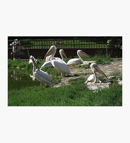 Family Of Pelican's Photographic Print