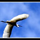 EGRET IN FLIGHT by BOLLA67