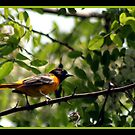 ORIOLE by BOLLA67