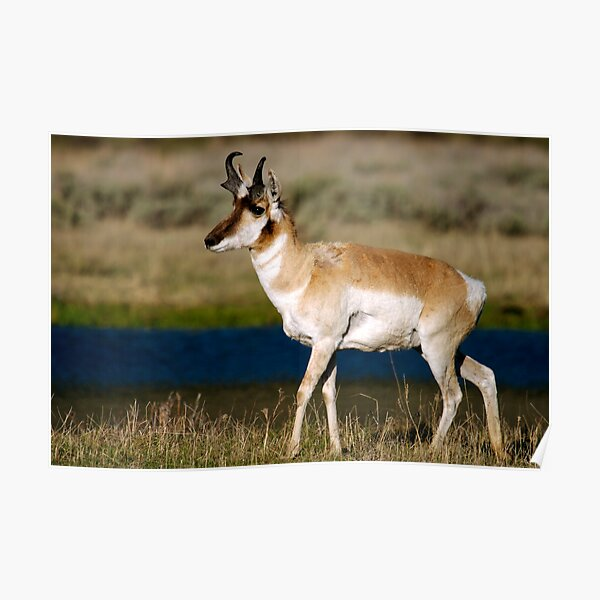 Pronghorn - Lamar Valley Poster