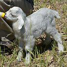 Newborn baby goat by Merrimon