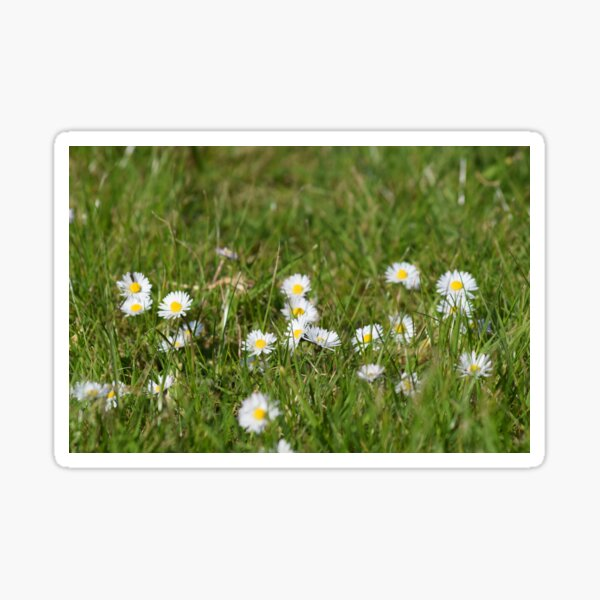 Classic daisies Sticker