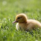 Hatchling Muscovy Duck by Jo Nijenhuis