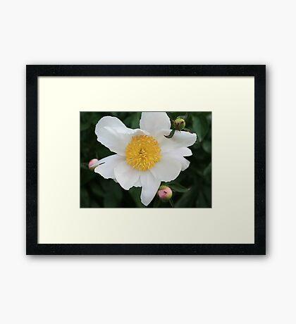 Single White Peony Framed Print