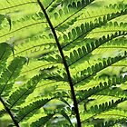Sunlight weaving through fern fronds by WesternExposure