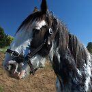 Sabino Mare at Farm World, Warragul, Gippsland by Bev Pascoe