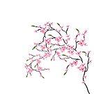 Cherry Blossom by saleire