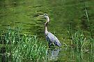 Patient Fisher - Gr  Blue Heron by Lynda   McDonald
