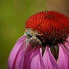 Bee on Cone Flower by Colleen Drew
