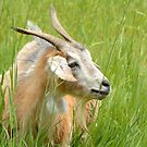 Portrait of pregnant goat  by Merrimon