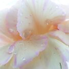 Raindrops on a Rose by Kelly d