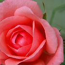 Pink Rose by debbiedoda