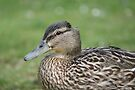 Close Up Duck by davesphotographics