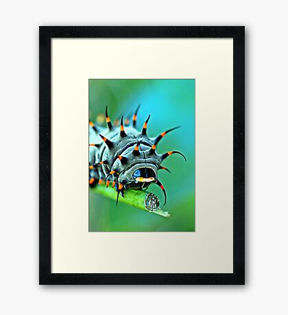 Close Up - Cairns birdwing caterpillar Framed Print