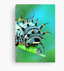 Close Up - Cairns birdwing caterpillar Canvas Print