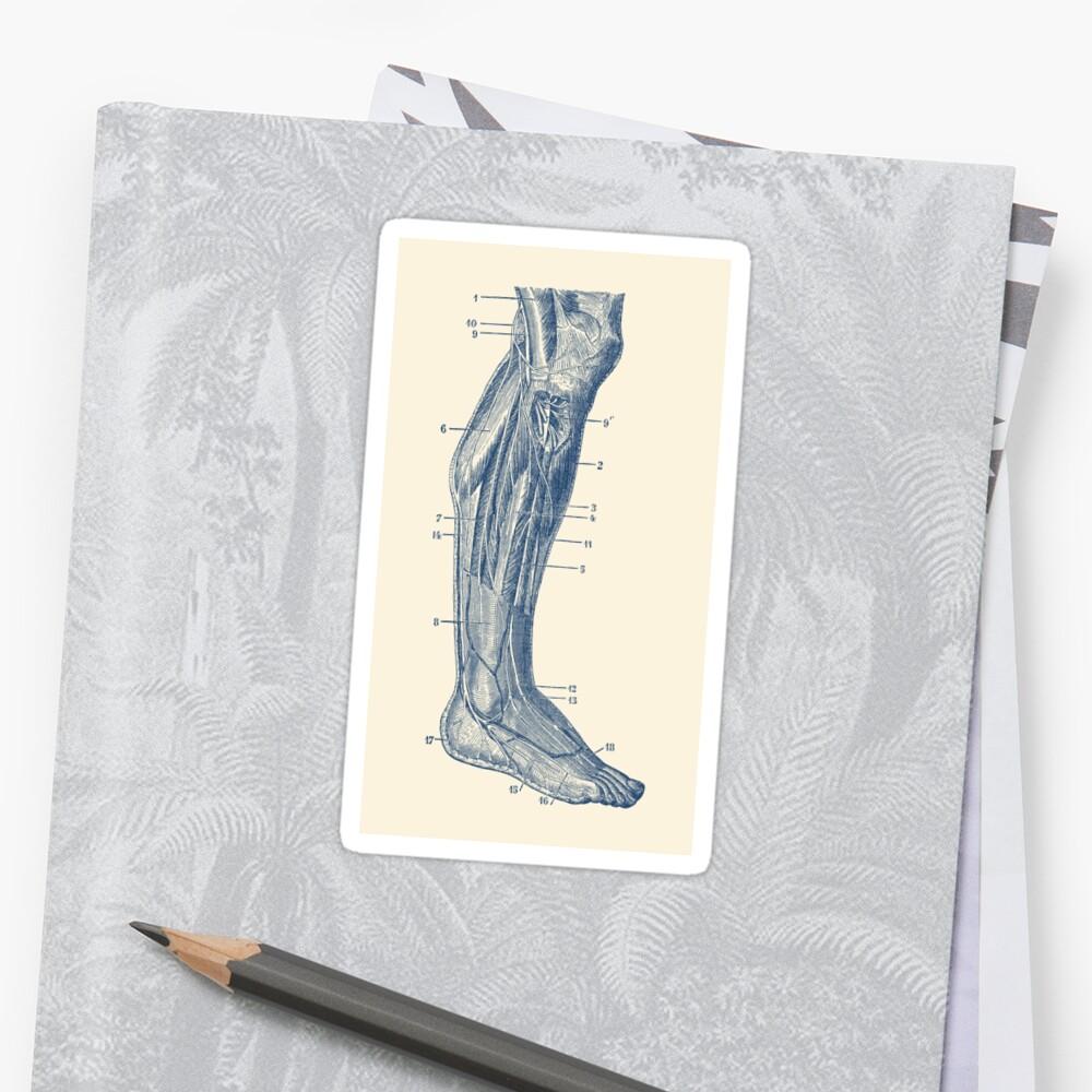 Pegatinas «Pierna derecha - sistema muscular» de VAposters   Redbubble