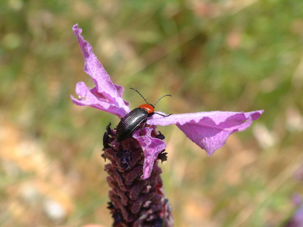 Soldier Beetle on French Lavender by hotpotato