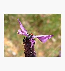 Soldier Beetle on French Lavender Photographic Print