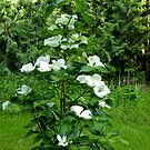 YOUNG DOGWOOD TREE IN FULL BLOOM by Elaine Bawden