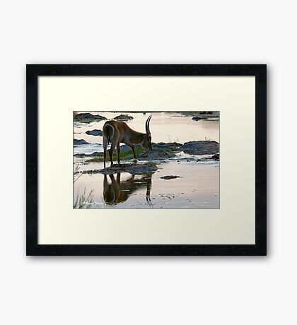 A REFLECTION - THE WATERBUCK – Kobus ellipsiprymnus Framed Print