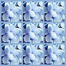 Blue mophead hydrangeas by Joan Harrison