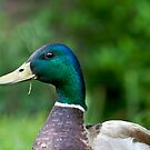 One Hungry Mallard by Jonathan Bartlett