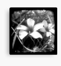 Oxalis - Through The Viewfinder Canvas Print