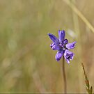 Dichelostemma capitatum (Blue Dicks) by Trish Peach