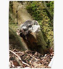 Groundhog Poster