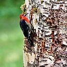 Woody woodpecker by JWallace