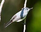 Blue Gray Gnatcatcher by Dennis Cheeseman