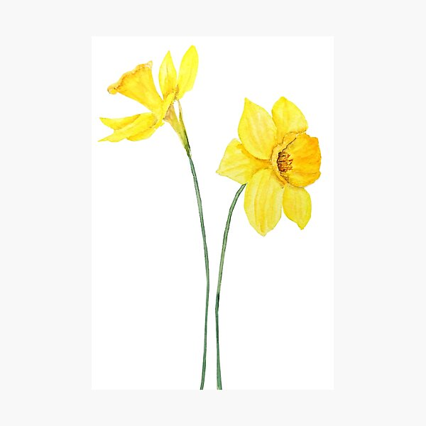 yellow daffodils watercolor painting Photographic Print