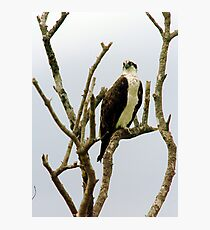 Osprey in naked tree Photographic Print