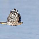 Sparrowhawk (Accipiter nisus) by Richard Nicoll