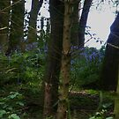 A Glimpse Of Bluebells by pat oubridge