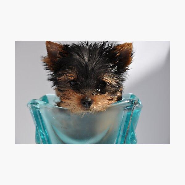 Yorkshire Puppy Photographic Print